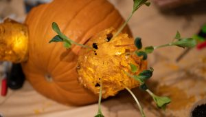 Created from dehydrated pumpkin pulp and pumpkin seedlings grown in the QRP office.